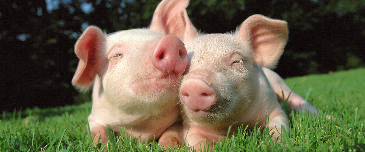 Insumos de calidad al productor de aves, cerdos y ganado.