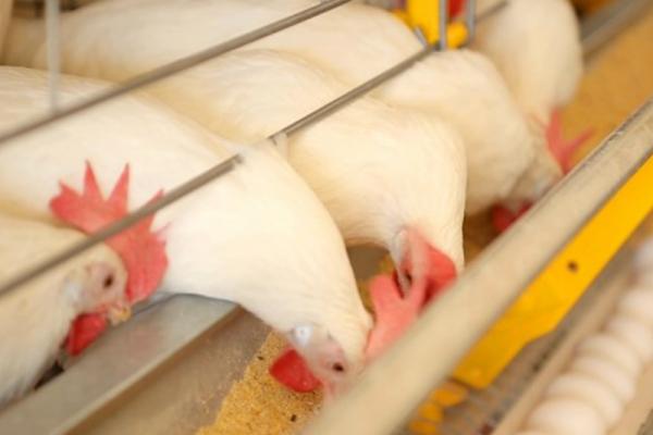 Métodos de prevención de la salmonela en gallinas