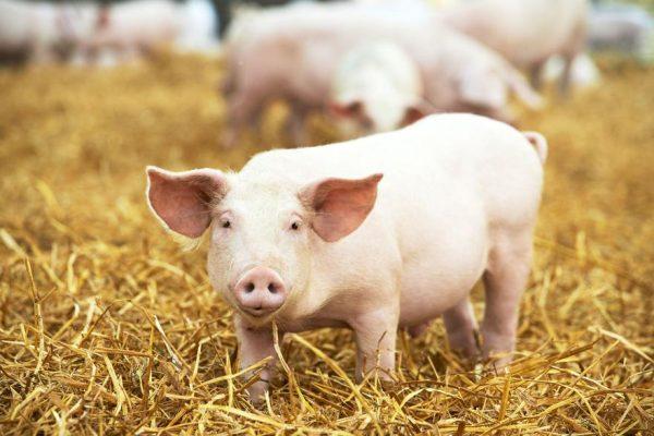 preiniciadores para cerdos