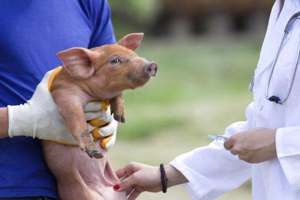 asesoría para la nutrición de cerdos